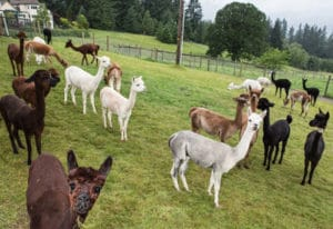 See dozens of adorable alpacas and learn how alpaca fleece is made into yarn (plus buy soft, warm al