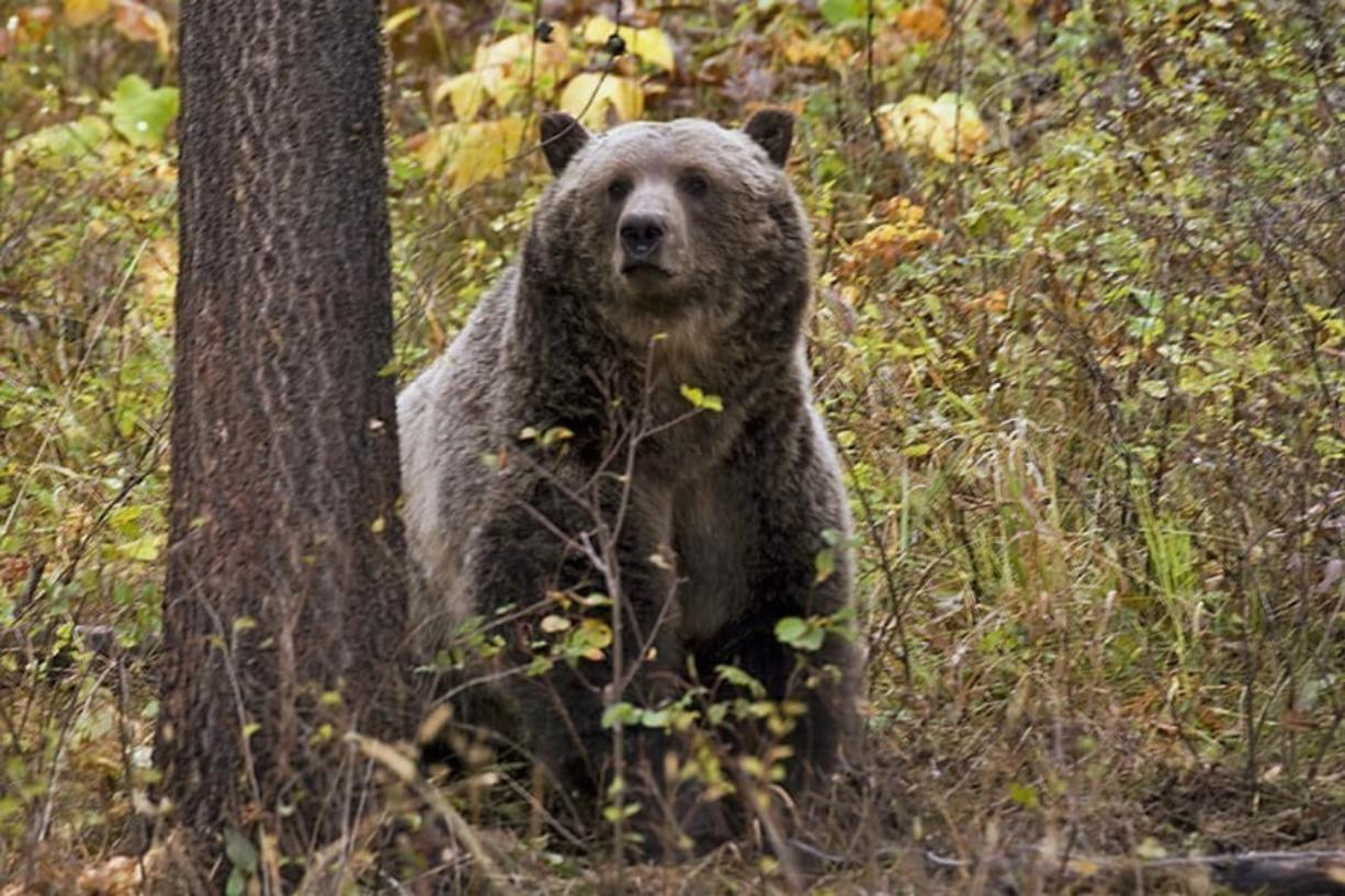 A sow grizzly bear spotted near Camas in northwestern Montana.