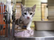 A kitten emerges from his cage  at the Humane Society for Southwest Washington in July.
