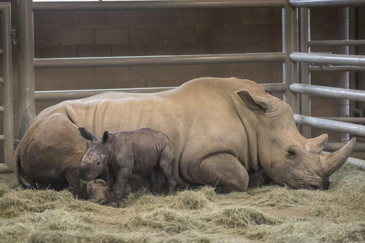 This Monday, July 29, 2019 photo provided by the San Diego Zoo shows a day-old southern white rhino calf stands beside its resting mother, Victoria, at the at the Nikita Kahn Rhino Rescue Center at the San Diego Zoo Safari Park in Escondido, Calif. The zoo has announced the first successful artificial insemination birth of a southern white rhino in North America. San Diego Zoo Global says the mother gave birth to a healthy male calf Sunday July 28, 2019, at the San Diego Zoo Safari Park. Mother and calf will remain off-limits to the public for now to allow them to bond.