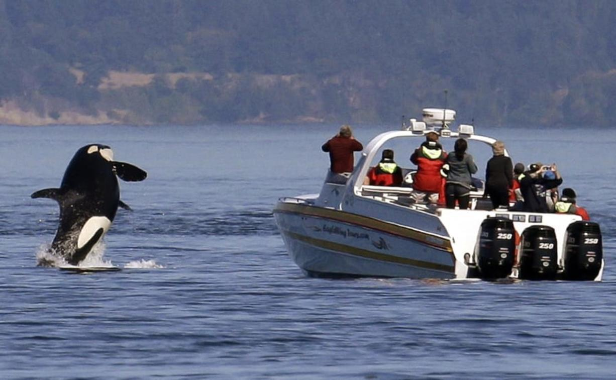 An orca leaps out of the water near a whale watching boat in the Salish Sea in the San Juan Islands in 2015. After an unusual absence, the endangered orcas were recently seen on the west side of San Juan Island. Associated Press files