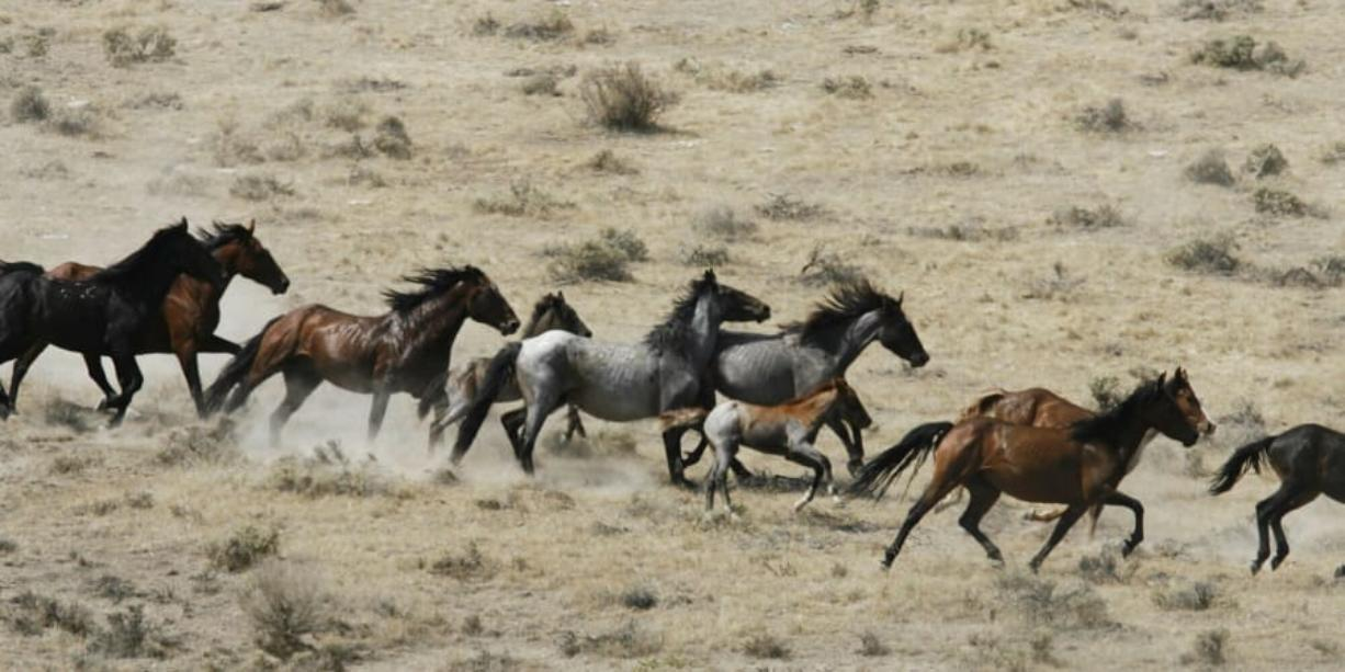 Wild horses being herded by the Bureau of Land Management in a field on July 25, 2007, at the Black Mountain and Hardtrigger Herd Management Areas in the Owyhee Mountains southeast of Marsing, Idaho.