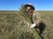 Hemp chef Derek Cross helps harvest hemp in 2013 during the first known harvest of the plant in more than 60 years, in Springfield, Colo. More farmers are ditching traditional crops such as soybeans in favor of hemp.