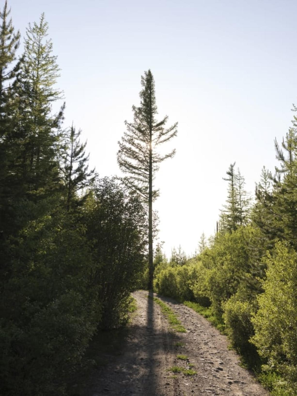 A forestry road passes through a young forest in the high country of the Malheur National Forest, Ore., in June 2019.