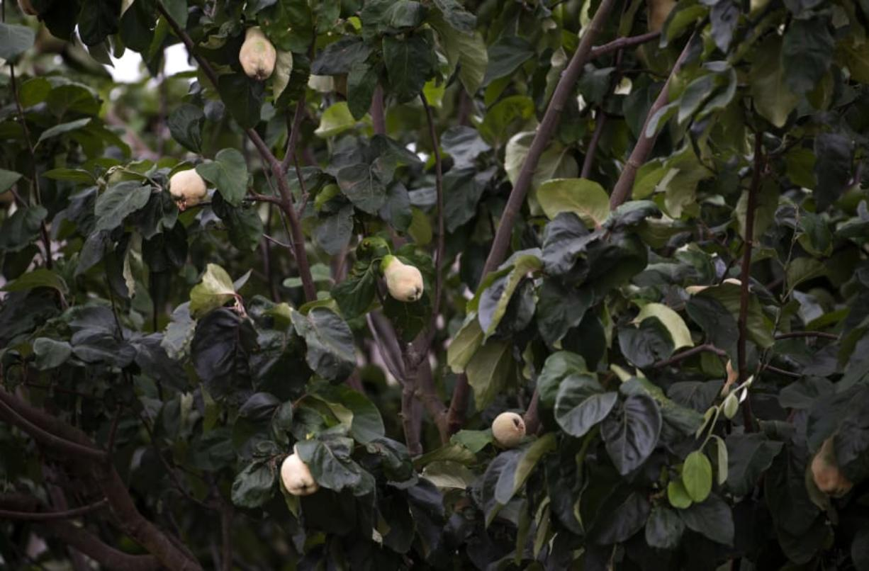 A rare quince tree, producing fruits that are better cooked than eaten raw, flourishes in the heritage garden in front of Fort Vancouver. Today's heritage garden is a 95 percent accurate representation of varieties of plants grown here in the 1840s, volunteers said. Alisha Jucevic/The Columbian