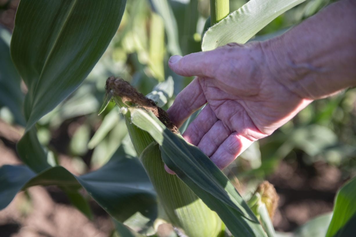 Bob Buker, 89, examines an ear of corn to determine if it is ready to be harvested at him farm on a warm August evening. According to Buker, the silk on the end of the corn turns brown as the corn ripens.