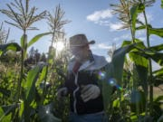 Sharon Martin harvests ears of corn at Bob Buker's farm. Buker donates most of his yield to the Clark County Food Bank.