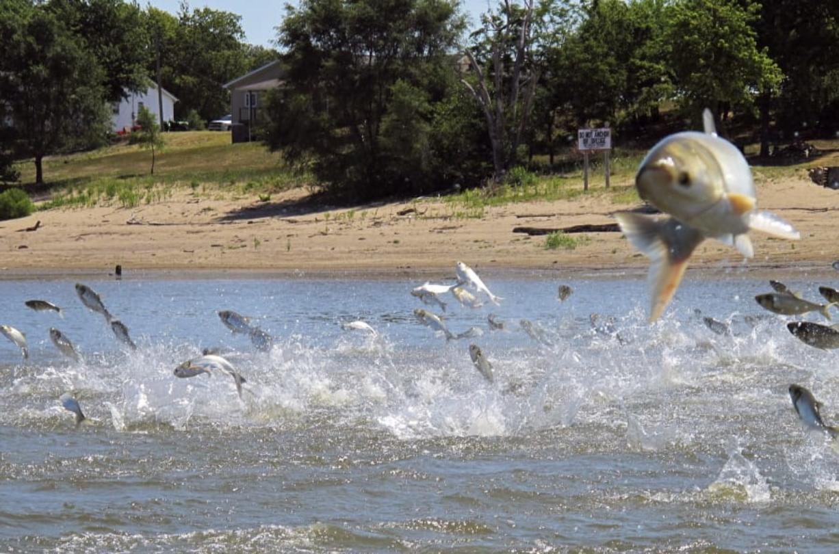 FILE - In this June 13, 2012, file photo, Asian carp, jolted by an electric current from a research boat, jump from the Illinois River near Havana, Ill. A newly released study says if Asian carp reach Lake Michigan, they probably would find enough food to spread far and wide. Some experts have questioned whether there's enough plankton in the lake to sustain the invasive carp away from shoreline areas. But the new report released Monday, Aug. 12, 2019, by University of Michigan scientists says despite a drop-off of plankton caused by exotic mussels, the voracious carp could feed on other organic material when venturing into deeper waters.