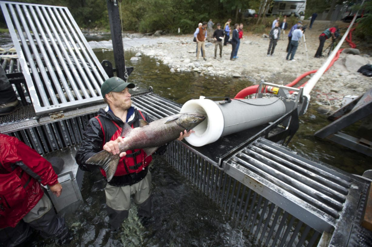 "The Washington Department of Fish & Wildlife uses a vacuum-powered transport system designed by Whooshh to move Tule Chinook salmon on the upper Washougal River in 2014. An upgraded version of the ""salmon cannon"" could be deployed at Chief Joseph Dam."