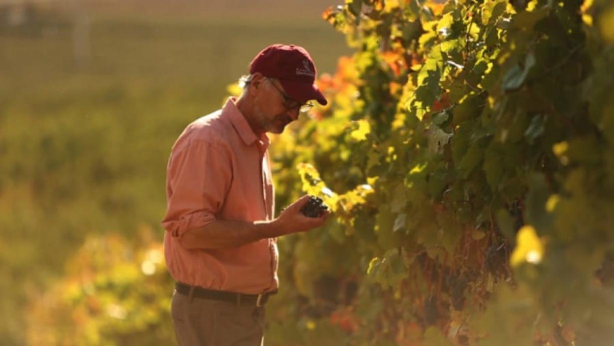 Promotional artwork from Brian Carter Cellars shows owner Brian Carter inspecting grapes at a vineyard. The winery, based in Woodinville, will open a new tasting room in November at The Waterfront Vancouver.