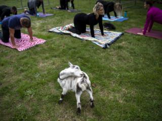 Give More 24: Goat Yoga