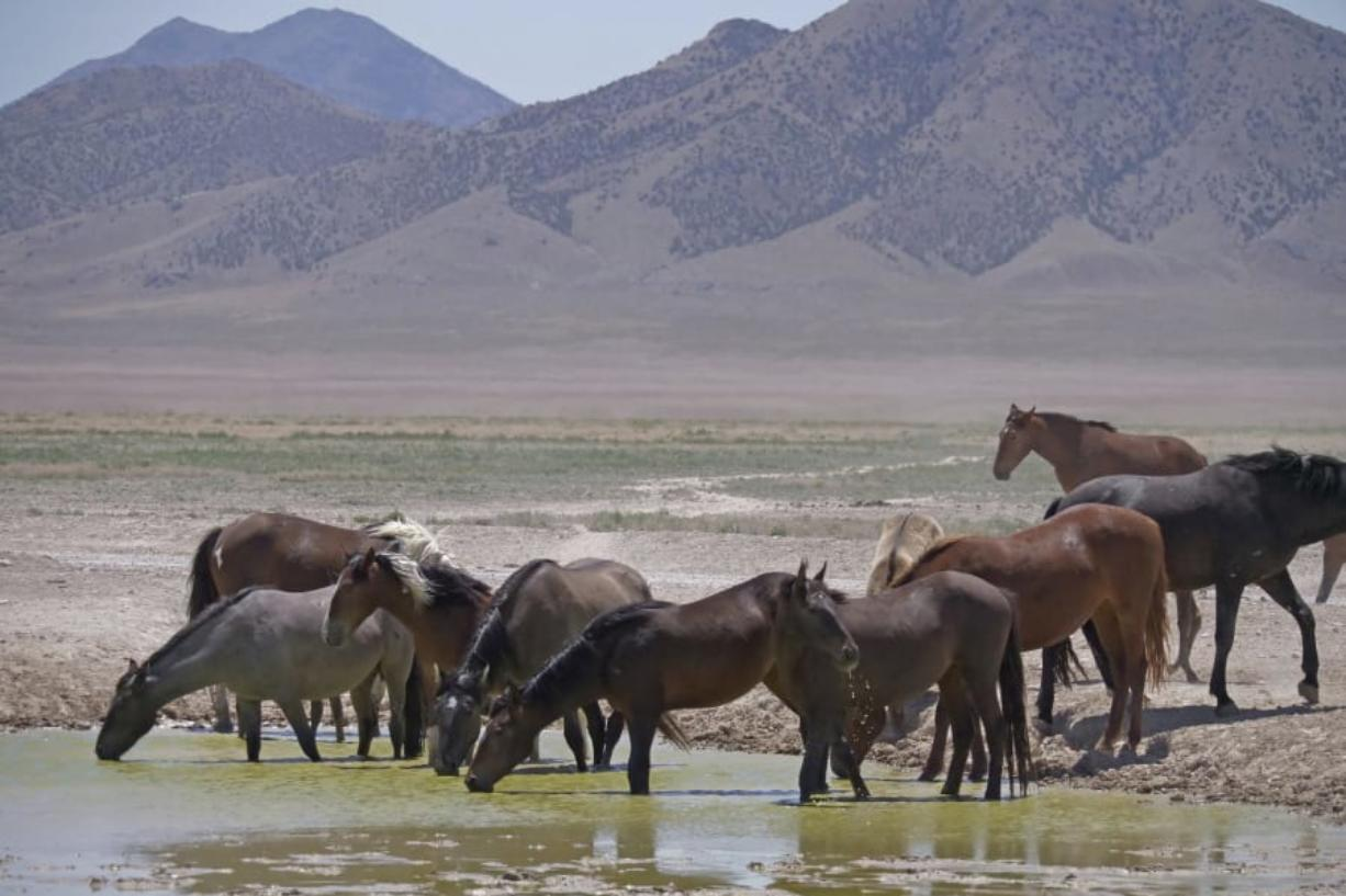Wild horses drink from a watering hole outside Salt Lake City on June 29, 2018. A Senate panel has approved $35 million for a new wild horse initiative backed by animal welfare groups and the livestock industry but condemned by the largest mustang protection coalition, which says it would put the free-roaming animals on a path to extinction.