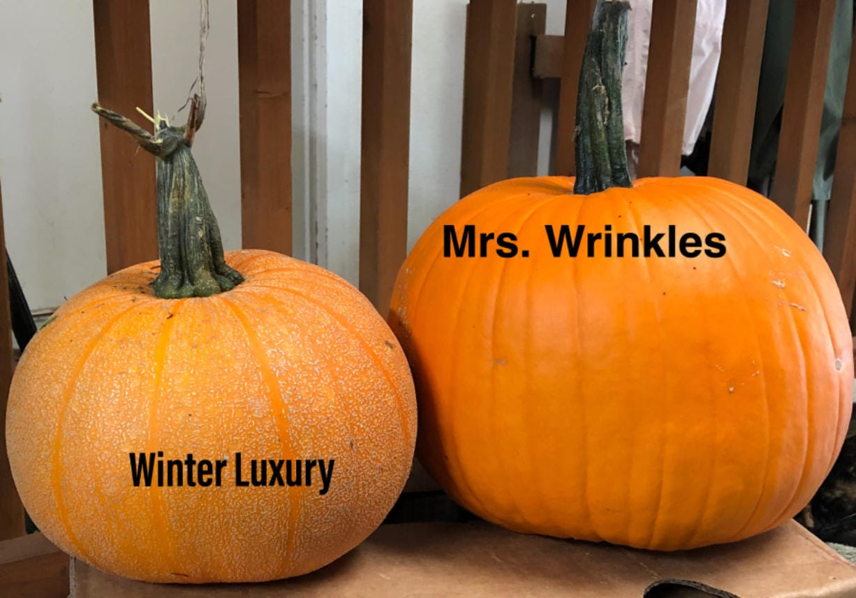 Winter Luxury pumpkins are ideal for pie, and Mrs. Wrinkles pumpkins for carving.