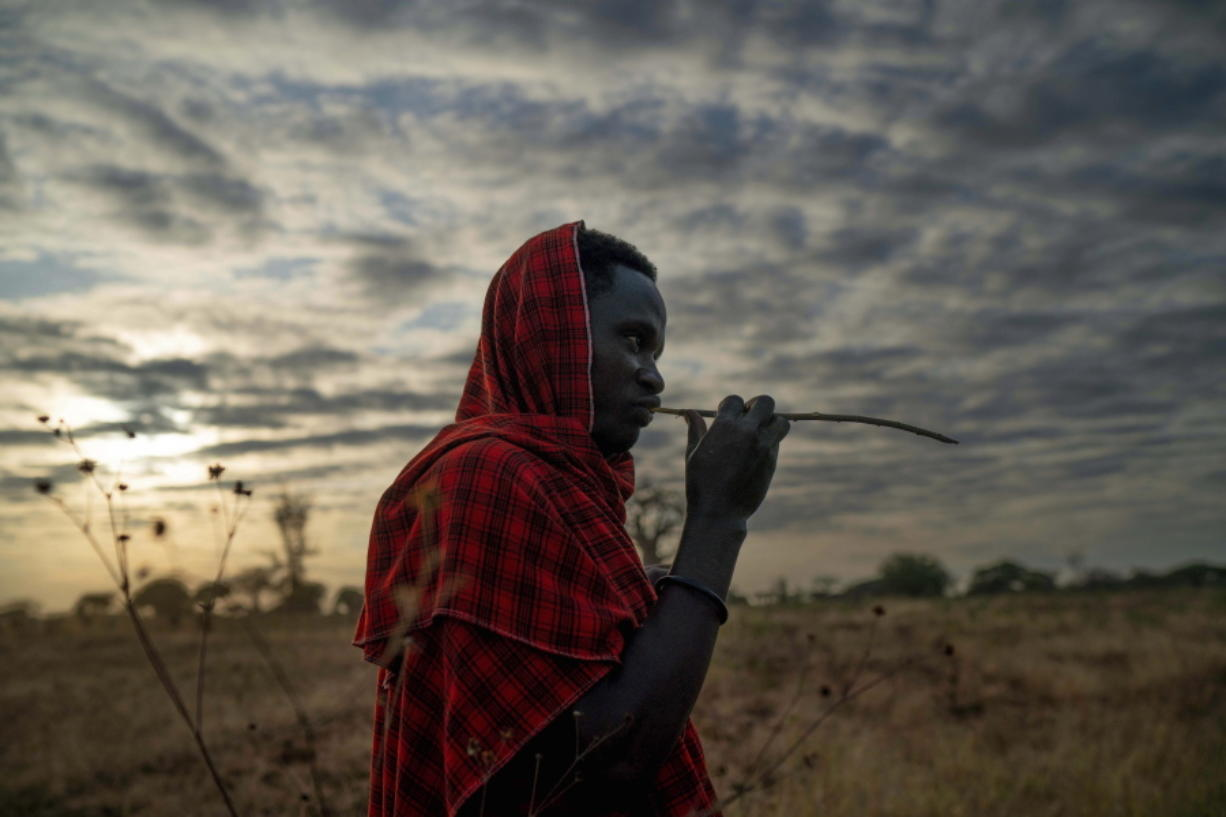 In this Thursday July 4, 2019 photo, Saitoti Petro, brushes his teeth with a stick before taking his herd to the fields in the village of Narakauwo, Tanzania. Petro says the problem now is that there are too few lions, not too many. '??It will be shameful if we kill them all,'?? he says. '??It will be a big loss if our future children never see lions.'?? And so he'??s joined an effort to protect lions, by safeguarding domestic animals on which they might prey. (AP Photo/Jerome Delay) (Photos by jerome delay/Associated Press)