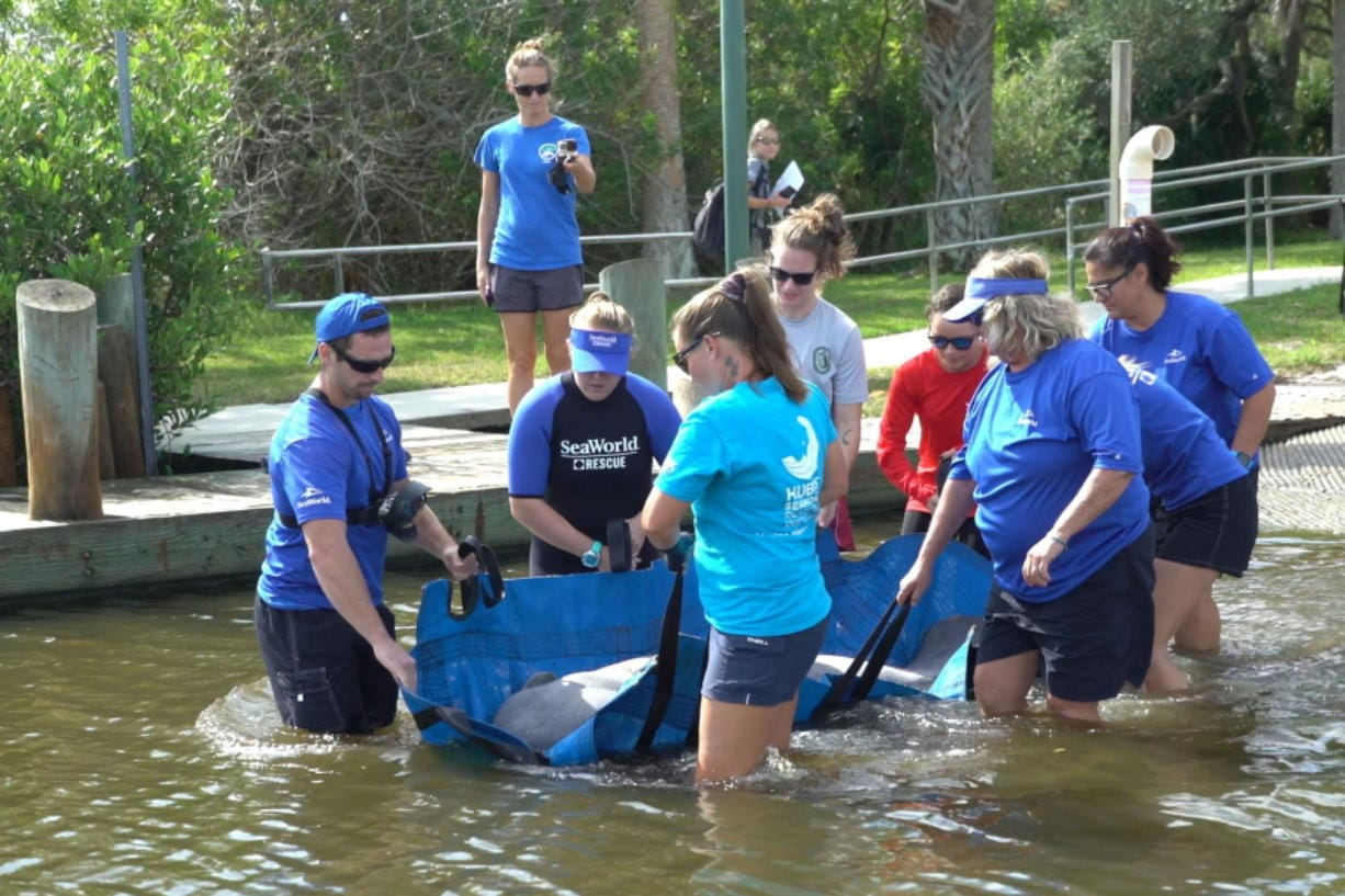 SeaWorld Orlando employees release a rescued manatee back into the wild on Oct. 17 in Oak Hill, Fla. The manatee was released after it was treated for a torn lung likely suffered in a collision with a boat. SeaWorld rehabilitates sea animals that are ill, injured, stranded or orphaned, treating them with the goal of returning them to the wild.