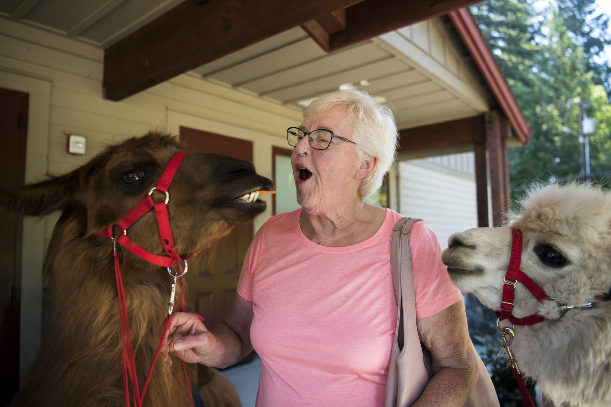Joanne Haberlock of Vancouver feeds carrot sticks to Rojo the llama, left, and Napoleon the alpaca, right, during the Seniors and Law Enforcement Together annual picnic at the Lacamas Lake Lodge in Camas on Monday afternoon, July 23, 2018. Rojo and Napoleon, from Mountain Peaks Therapy Llamas and Alpacas, arrived at the event early to welcome the seniors.    (Alisha Jucevic/The Columbian)