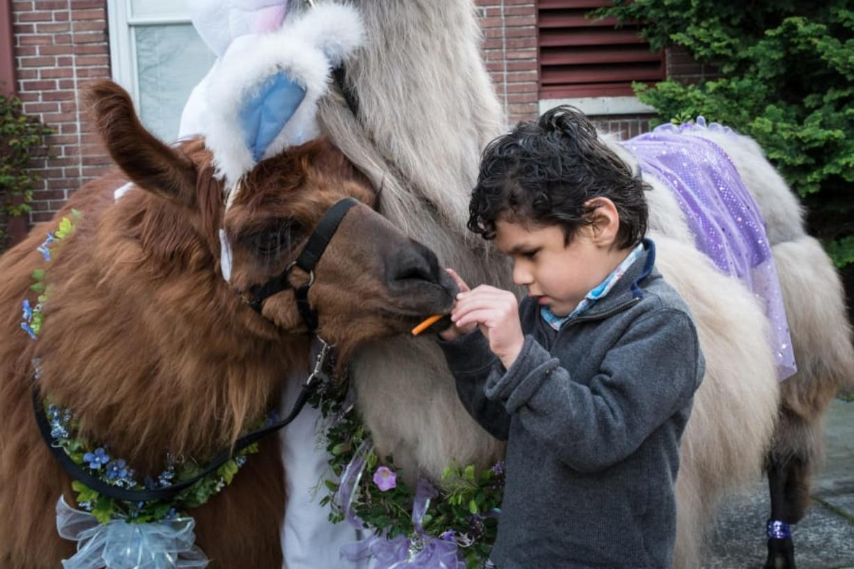 A child feeds Rojo the Llama at the Beeping Easter Egg Hunt for the Blind hosted by the Northwest Association of Blind Athletes at the Washington State School for the Blind in Vancouver in 2016.