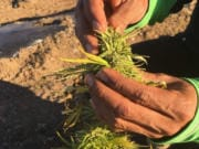 Oregon hemp grower Ajit Singh pulls a hemp flower apart to show where mold has set in. Hemp crops across the Rogue Valley have been blighted by mold after unusually heavy rain in September.