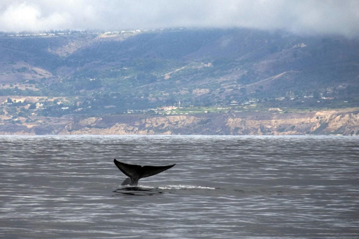 An approximately 80-foot blue whale reveals its fluke as it begins a deep dive for krill with a view of Rancho Palos Verdes coastline in California, in the background as viewed from the Harbor Breeze Cruise's Christopher boat. The whale was one of four or five blue whales spotted in the area on Tuesday, Oct. 4, 2011. (Allen J. Schaben/Los Angeles Times/TNS)