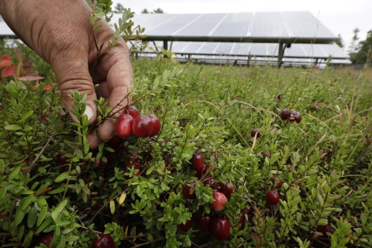 Cranberry grower Mike Paduch holds some cranberries growing in the same bog where solar arrays are installed, behind, in Carver, Mass. Plummeting cranberry prices has America's cranberry industry eyeing a possible new savior: solar power.