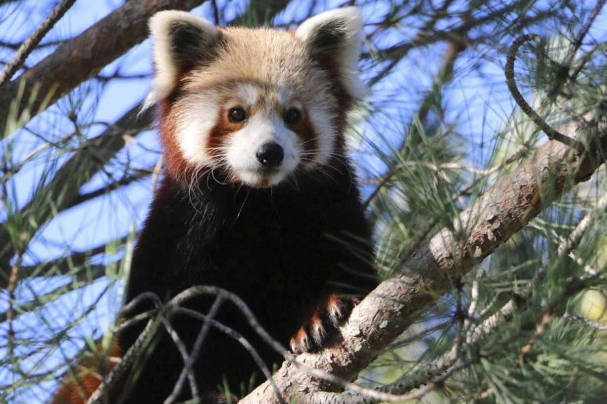 This photo released by Saint-Martin-la-Plaine zoo shows the red panda that broke out of a zoo in the Rhone region of southeastern France, Friday, Nov. 15, 2019. The park said the panda escaped last Friday by climbing branches broken by snowfall and swinging from tree to tree. Officials said the panda, a cat-sized nocturnal animal with reddish fur and a shaggy tail, would probably be spotted in a tree.