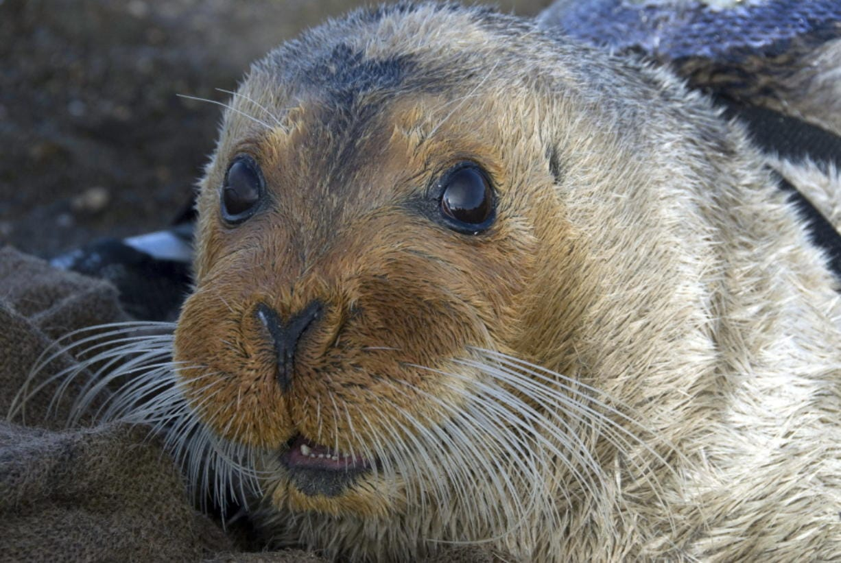 A bearded seal is shown in Kotzebue, Alaska, in 2006. (Associated Press files)