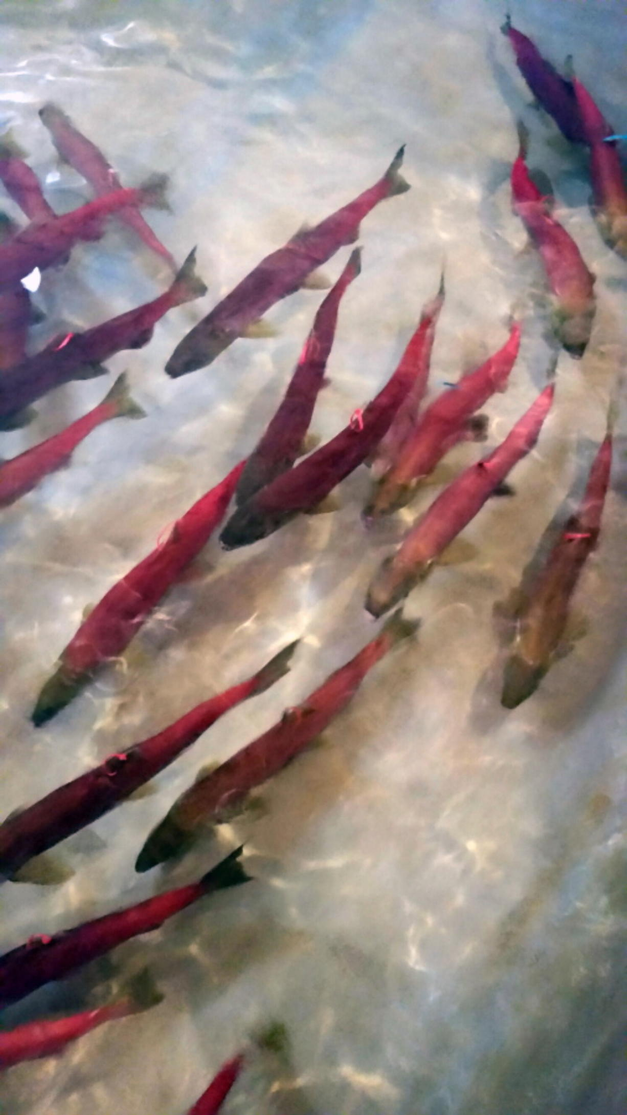 Snake River sockeye salmon that returned from the Pacific Ocean to Idaho over the summer swim in a holding tank on Sept. 26, 2017, at the Eagle Fish Hatchery in southwestern Idaho. (Dan Baker/Idaho Fish and Game files)