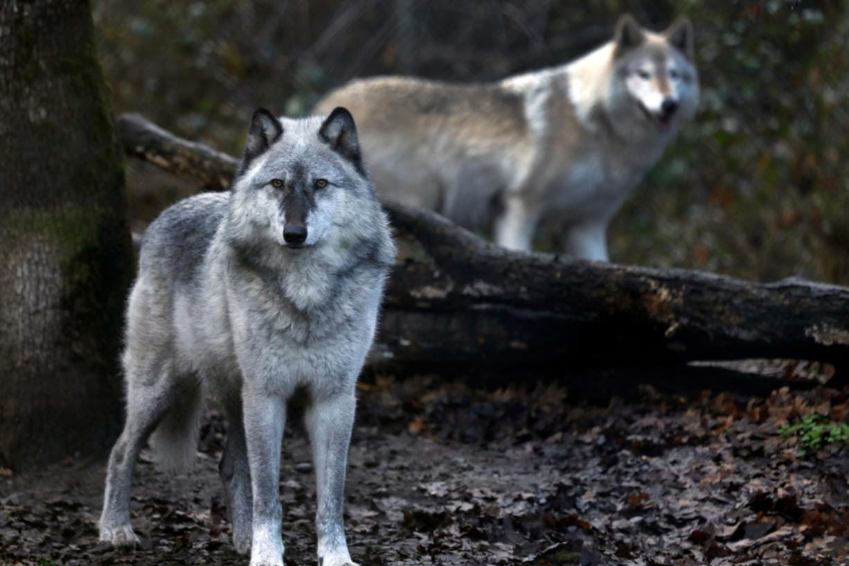 At Wolf Haven International in Tenino, an 8-year-old gray wolf, left, lives with a wolf-dog, right, at the sanctuary.
