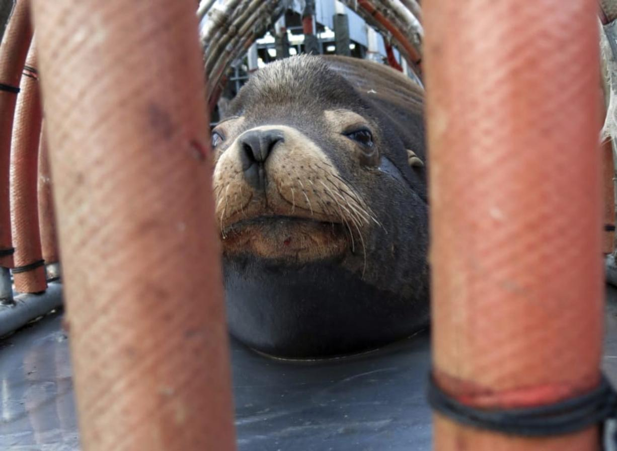 """In this 2018 photo, a California sea lion peers out from a restraint nicknamed """"The Squeeze"""" near Oregon City, Ore., as it is prepared for transport by truck to the Pacific Ocean about 130 miles away. That effort, along with lethal removal, has cleared the way for winter steelhead on the Willamette."""