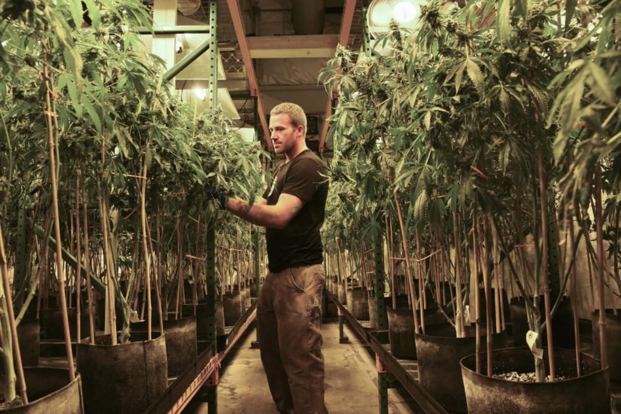 Matt Michaelson zip-ties plants upright at Cedar Creek Cannabis in Vancouver in 2017. (The Columbian files)