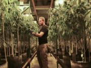 Matt Michaelson zip-ties plants upright at Cedar Creek Cannabis in Vancouver in 2017.