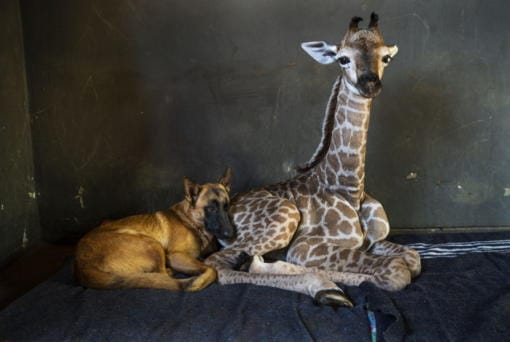 FILE - In this Friday Nov 22, 2019 file photo, Hunter, a young Belgian Malinois, keeps an eye on Jazz, a nine-day-old giraffe at the Rhino orphanage in the Limpopo province of South Africa. Jazz, who was brought in after being abandoned by her mother at birth, died of brain hemorrhaging and hyphema it was announced Friday, Dec. 6, 2019. (AP Photo/Jerome Delay)