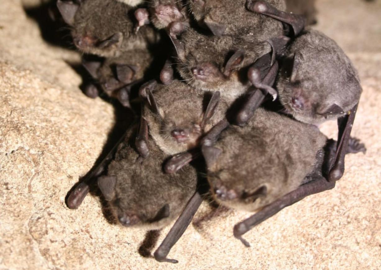 A cluster of hibernating gray bats (Myotis grisescens).