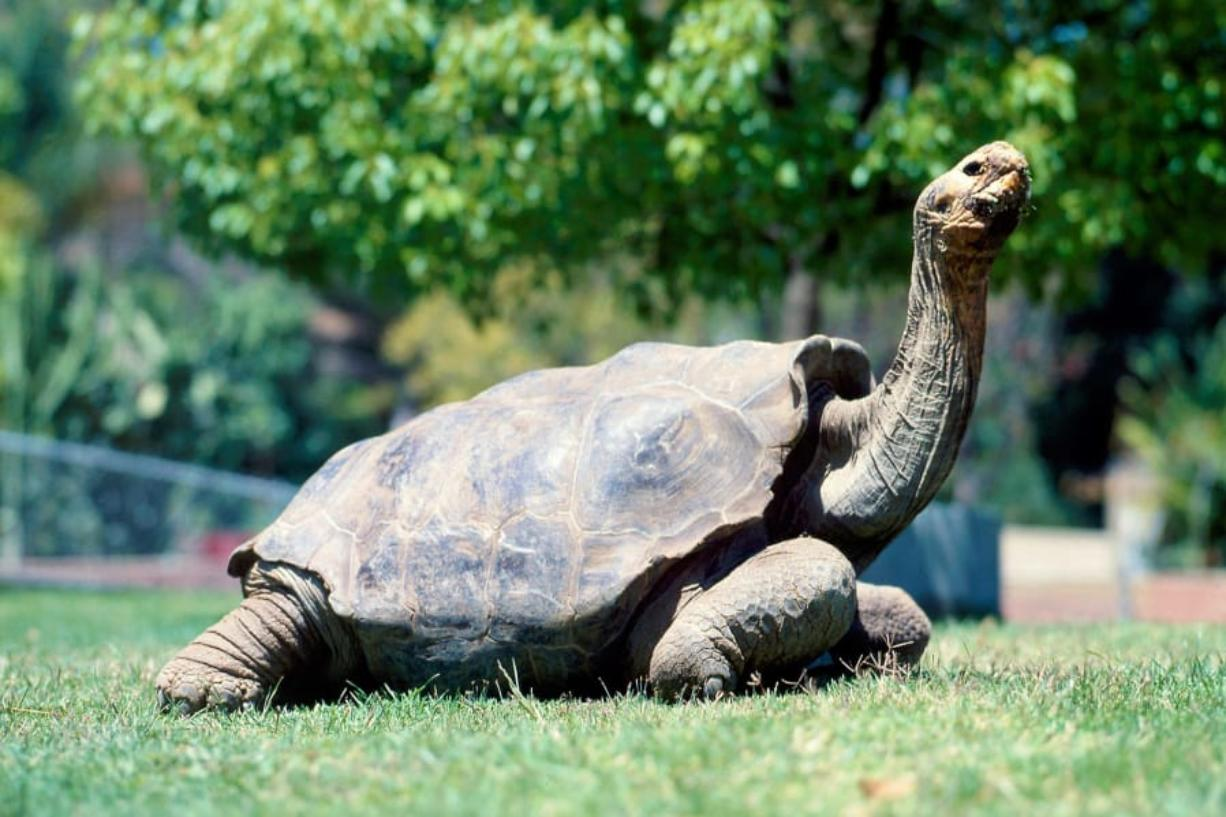 Diego, the former San Diego tortoise, strikes a pose at the San Diego Zoo, where he was on exhibit for about 40 years.