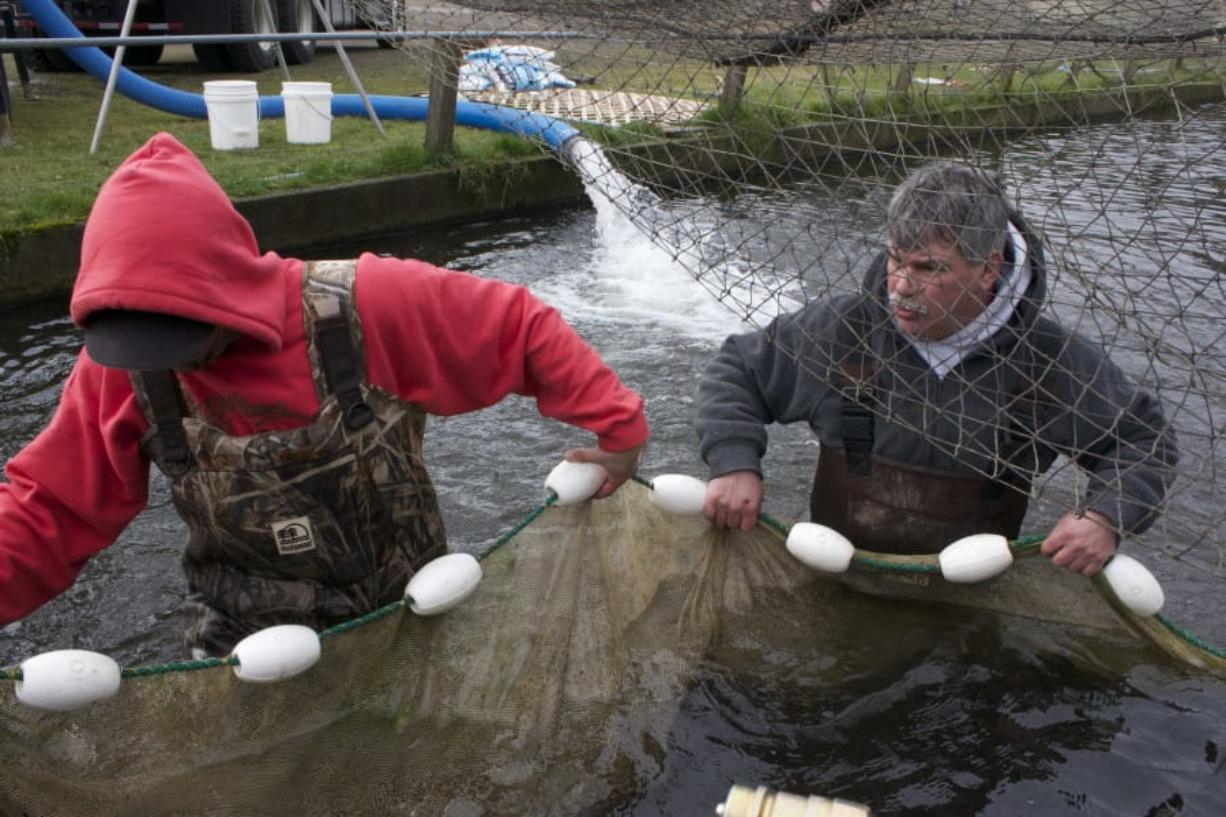 Washington Department of Fish and Wildlife technicians net salmon smolts. With the WDFW facing a budget shortfall, the legislature is being asked to step in and provide additional funding to keep current services going. (Washington Department of Fish and Wildlife photos)