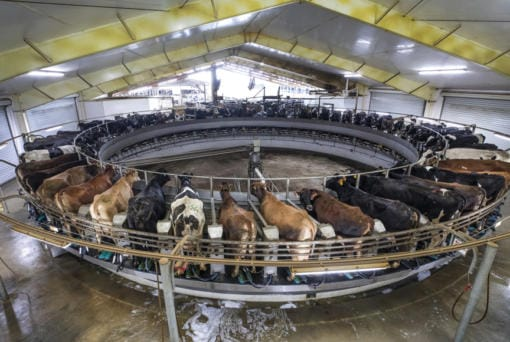 Sixty cows are milked at a time on a rotary milking parlor at Natural Milk dairy in Stanwood. The cows are continueously walking on, cleaned with a robotic arm, then milked as the mechanism rotates. (Steve Ringman/The Seattle Times/TNS)
