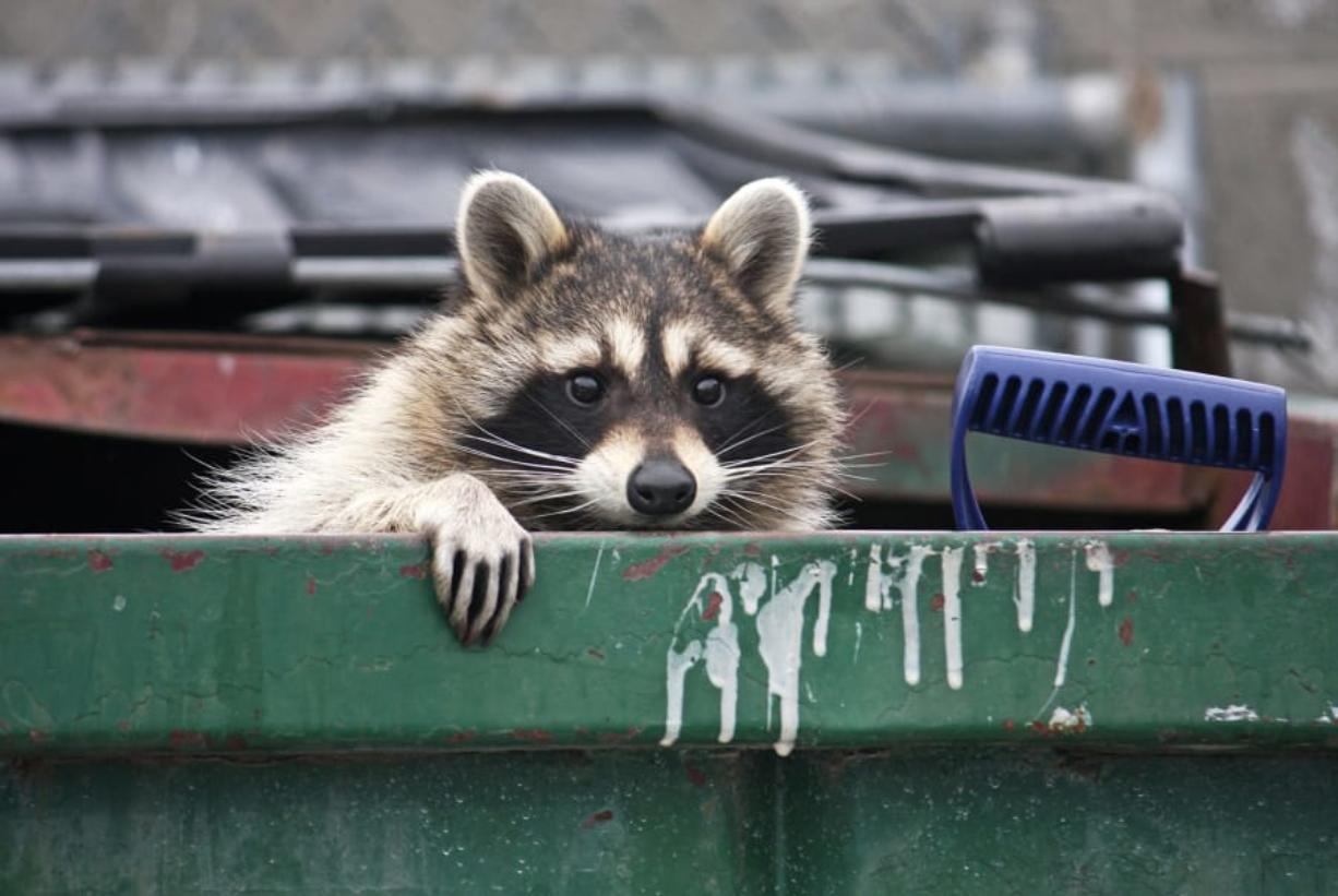 The first raccoons wandered into developed areas in the 1950s, attracted by all the free food, water and shelter we offered. (Dreamstime)