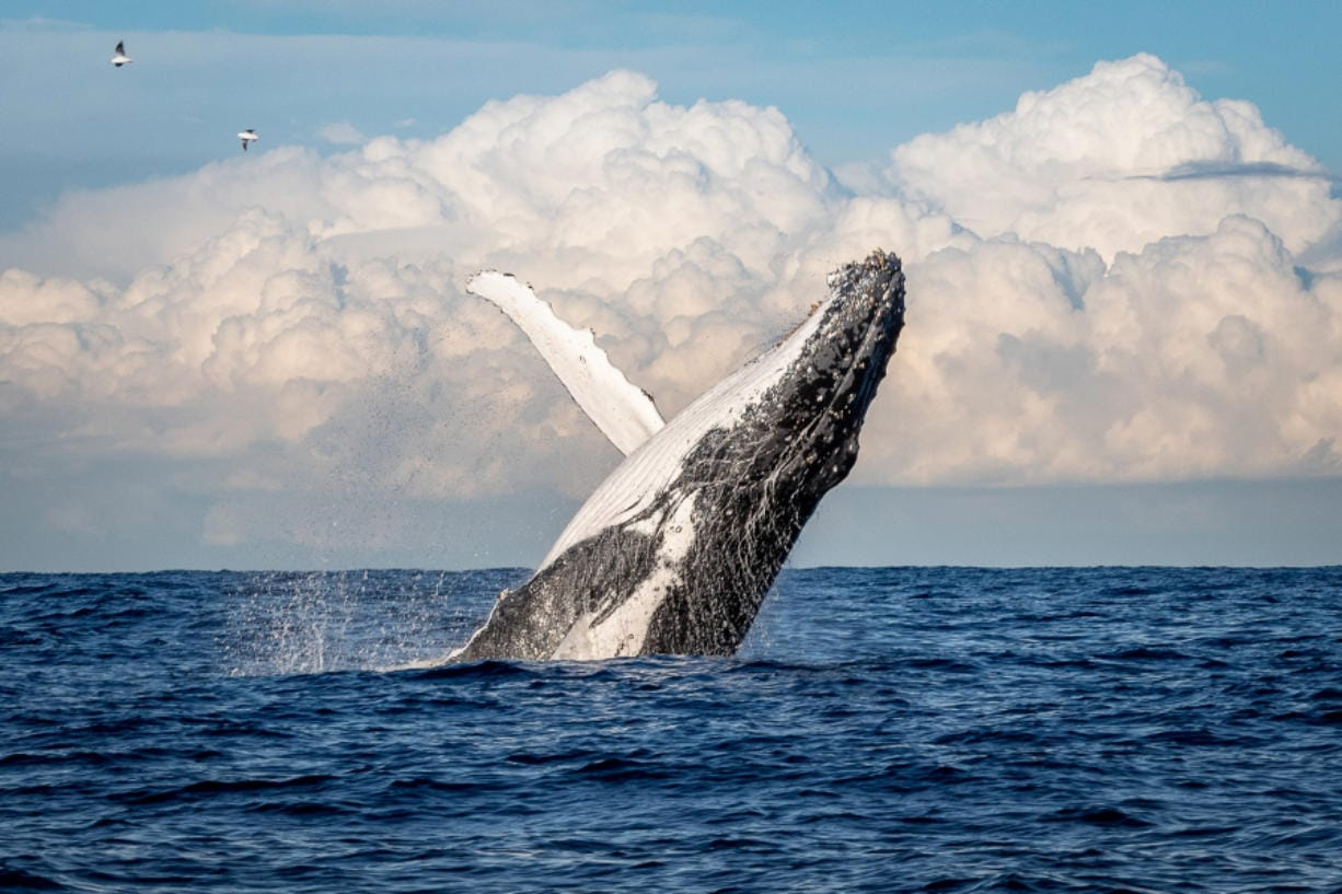 Humpback whales eat both krill and anchovies, depending on what's available. Krill tend to thrive in deeper and colder waters, and well up with the typical currents along the California coast.
