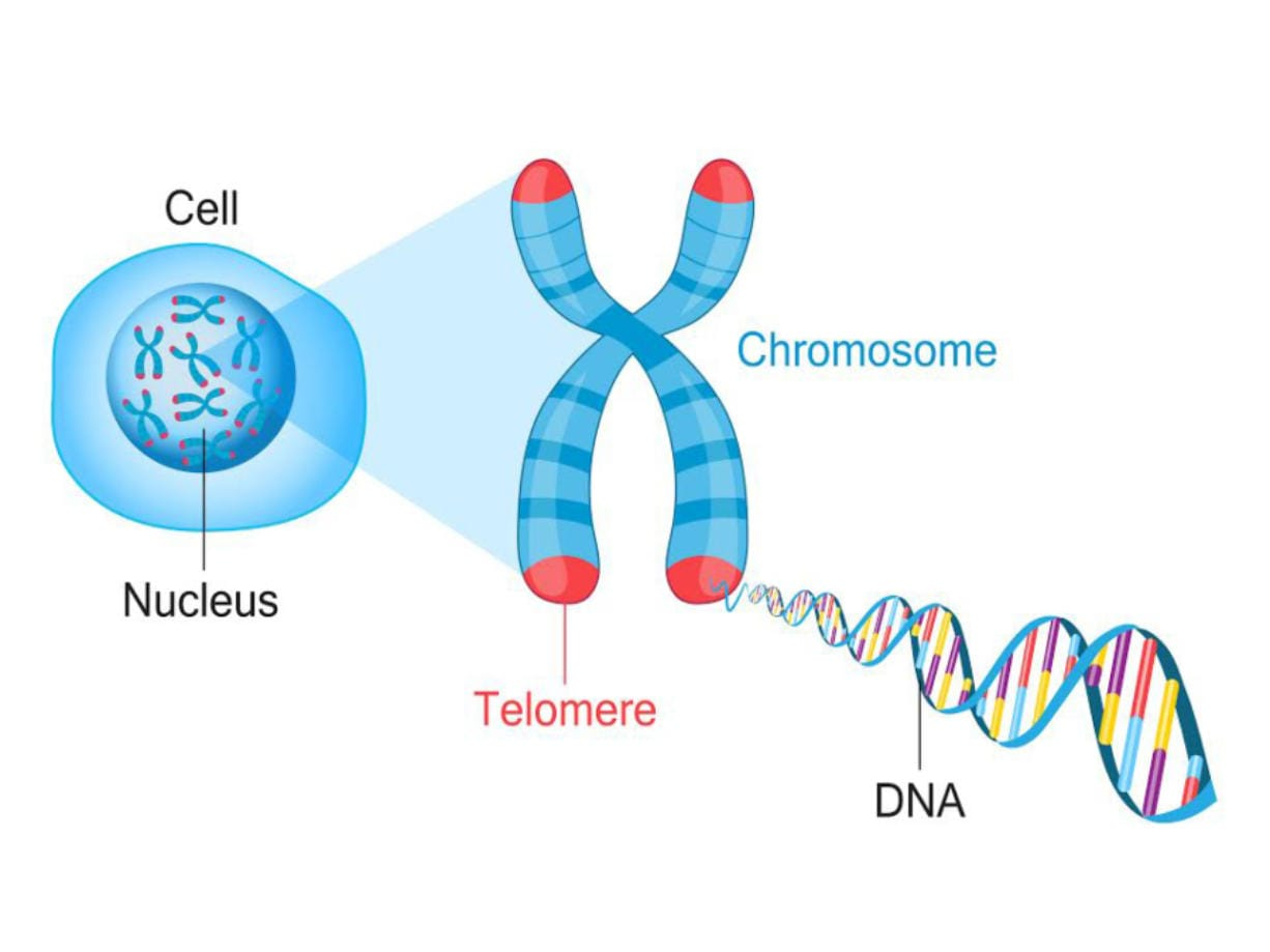 Kashi Clinical Laboratories in Portland tests telomeres, the protective end caps of DNA, to identify cellular age.