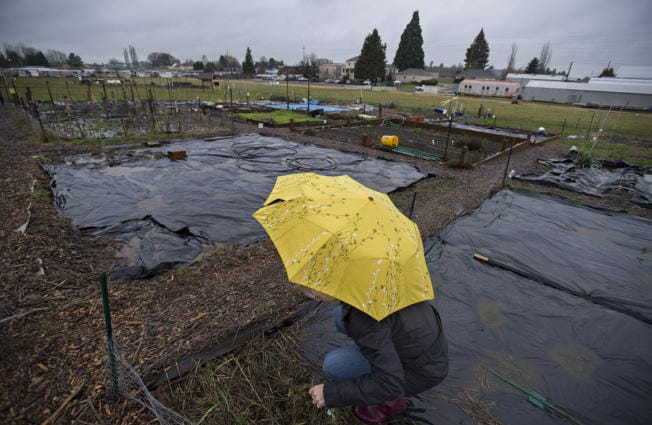 Vancouver resident Nancy Christensen weeds under soggy conditions at the 78th Street Heritage Farm on Monday morning. (Photos by Amanda Cowan/The Columbian)