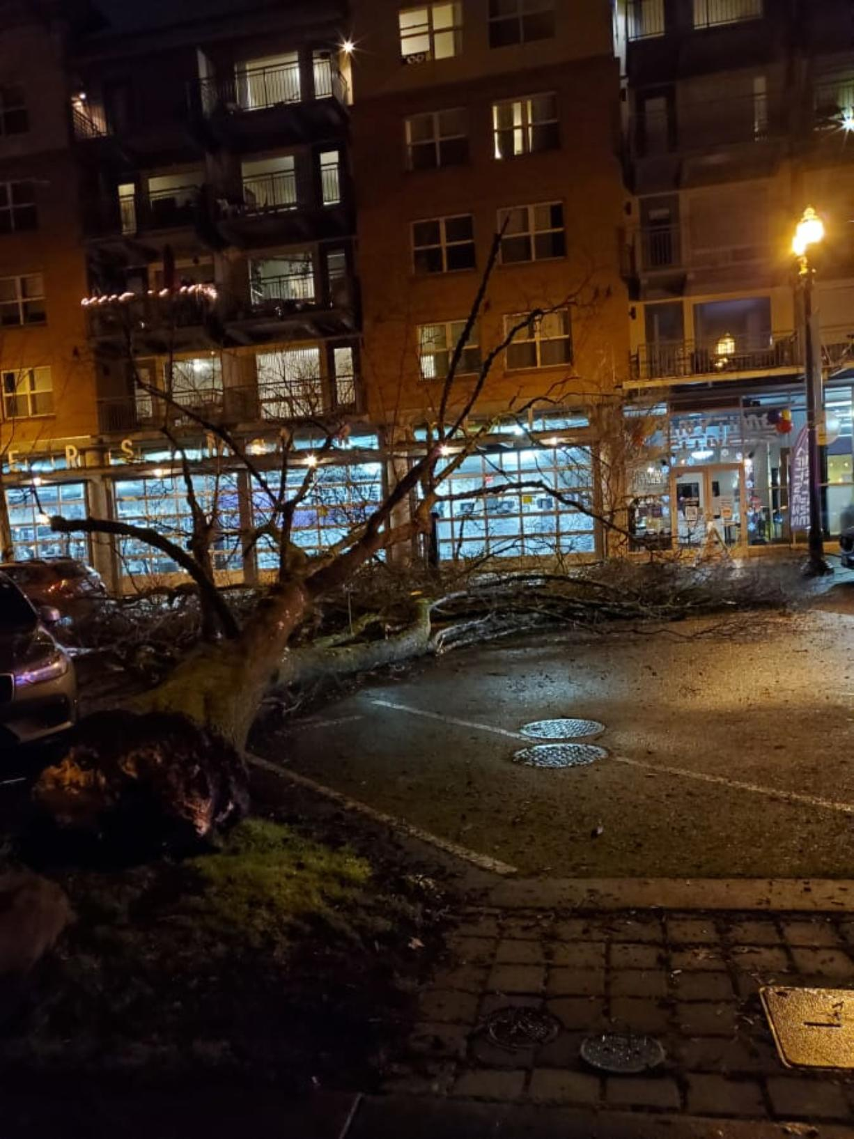 A large tree on the western edge of Esther Short Park toppled into Esther Street, narrowly missing cars and the Esther Short Commons building, on the evening of Jan. 18. (Photo courtesy Kent Livingston)