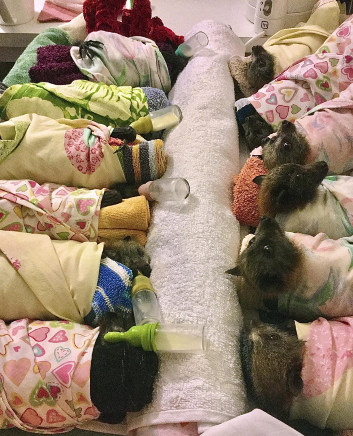 Grey-headed flying fox bats are swaddled in flannel wraps, similar to those being made by thousands of crafters worldwide, at the home of volunteer Jackie Maisey in Uralla, Australia, on Jan. 8. (jackie maisey)