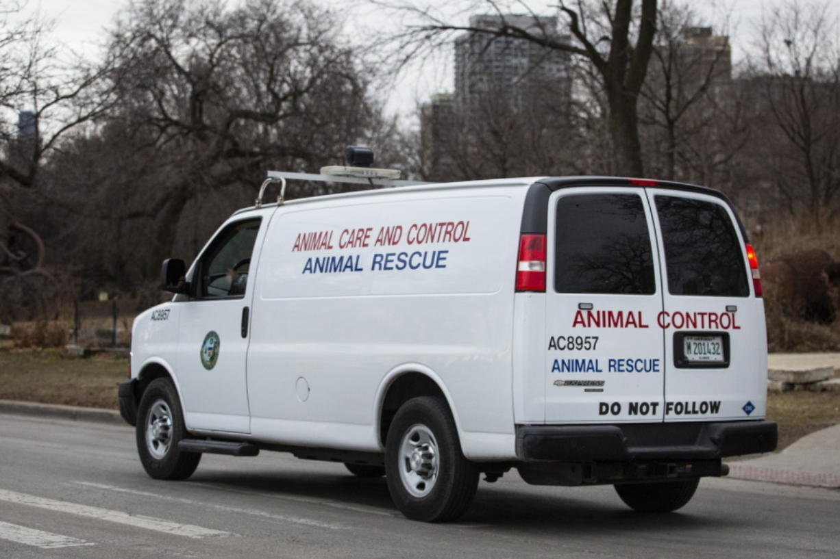 A Chicago Animal Care and Control vehicle drives along the 2400 block of North Cannon Drive  in Chicago, Thursday morning, Jan. 9, 2020, after 5-year-old boy and a man were bitten in separate attacks this week by animals that city officials suspect were coyotes.