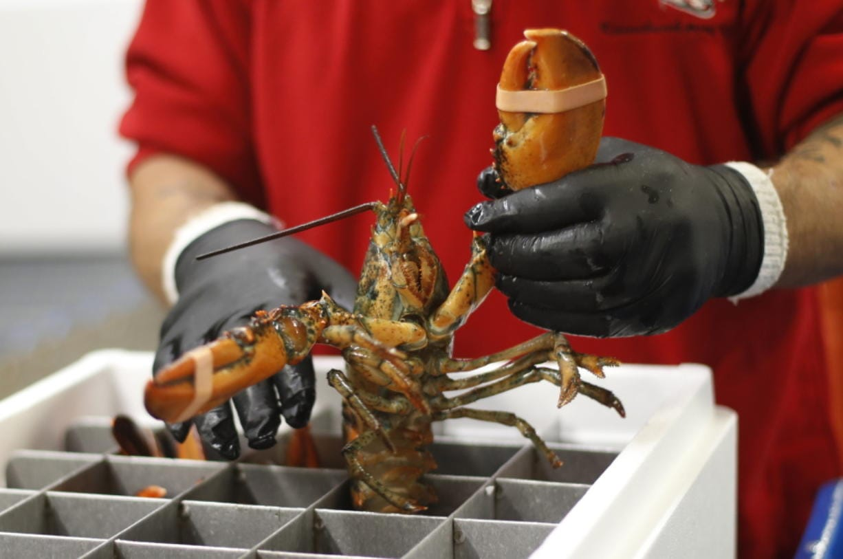 A live lobster is packed into a cooler for shipment to China at The Lobster Company in Arundel, Maine. The busiest season for lobster exports to China is around Chinese New Year, which took place Saturday.