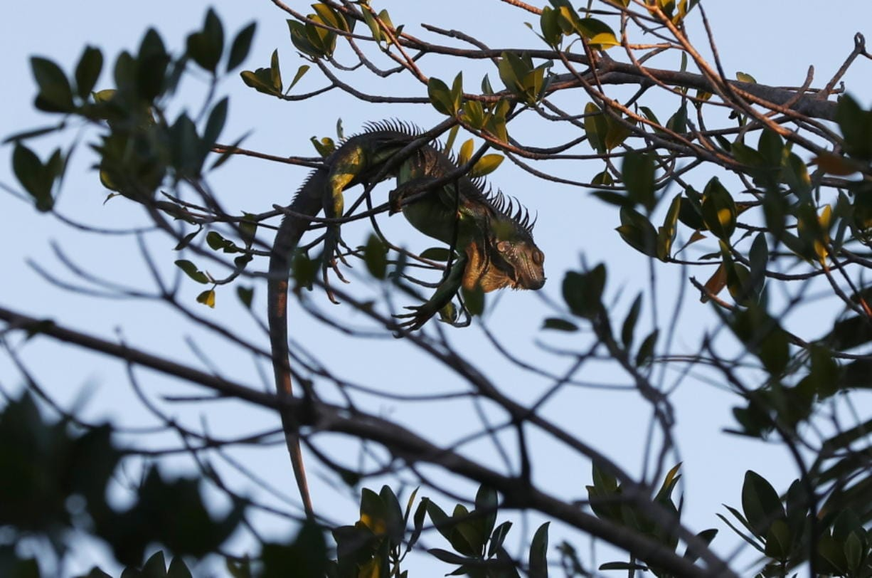 An iguana lies draped on a tree limb as it waits for the sunrise, Wednesday, Jan. 22, 2020, in Surfside, Fla. The National Weather Service Miami posted Tuesday on its official Twitter that residents shouldn't be surprised if they see iguanas falling from trees as lows drop into the 30s and 40s. The low temperatures stun the invasive reptiles, but the iguanas won't necessarily die. That means many will wake up as temperatures rise Wednesday. (AP Photo/Wilfredo Lee)
