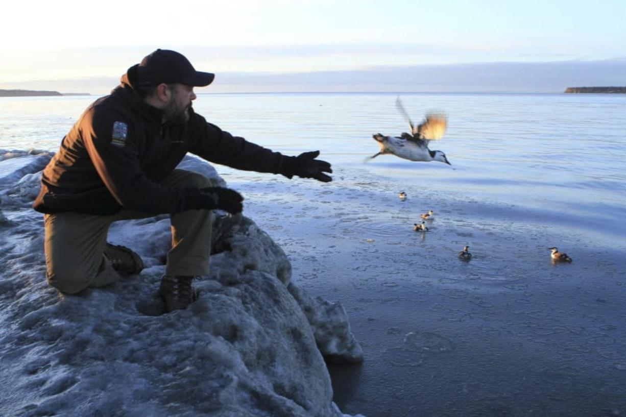 Guy Runco, director of the Bird Treatment and Learning Center, releases a common murre Jan. 5, 2016, near the Anchorage small boat harbor in Anchorage, Alaska. Hundreds of thousands of common murres, a fast-flying seabird, died from starvation four winters ago in the North Pacific, and a new research paper attempts to explain why. (Dan Joling/Associated Press files)