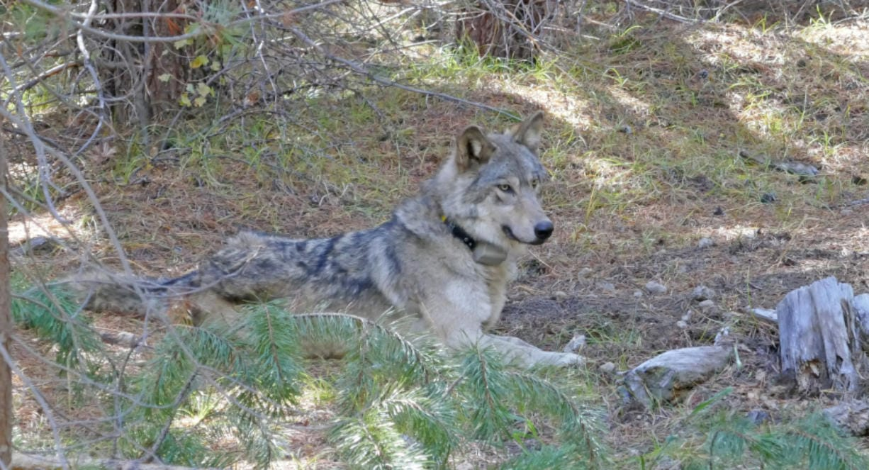 After they put a GPS tracking collar on her in 2017, Oregon biologists took this photo of the wolf they labeled OR-54. She was found dead Wednesday in Shasta County, Calif., after making a remarkable 8,700-mile journey looking for a mate though three states. (U.S.