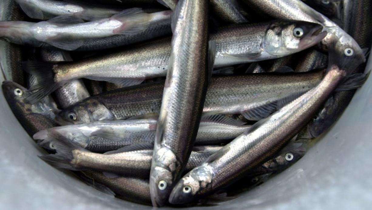 NOAA Fisheries and the WDFW will allow a limited smelt dipnet fishery this Friday, Feb. 14 on a section of the Cowlitz River. It's the first smelt fishery allowed since 2017.