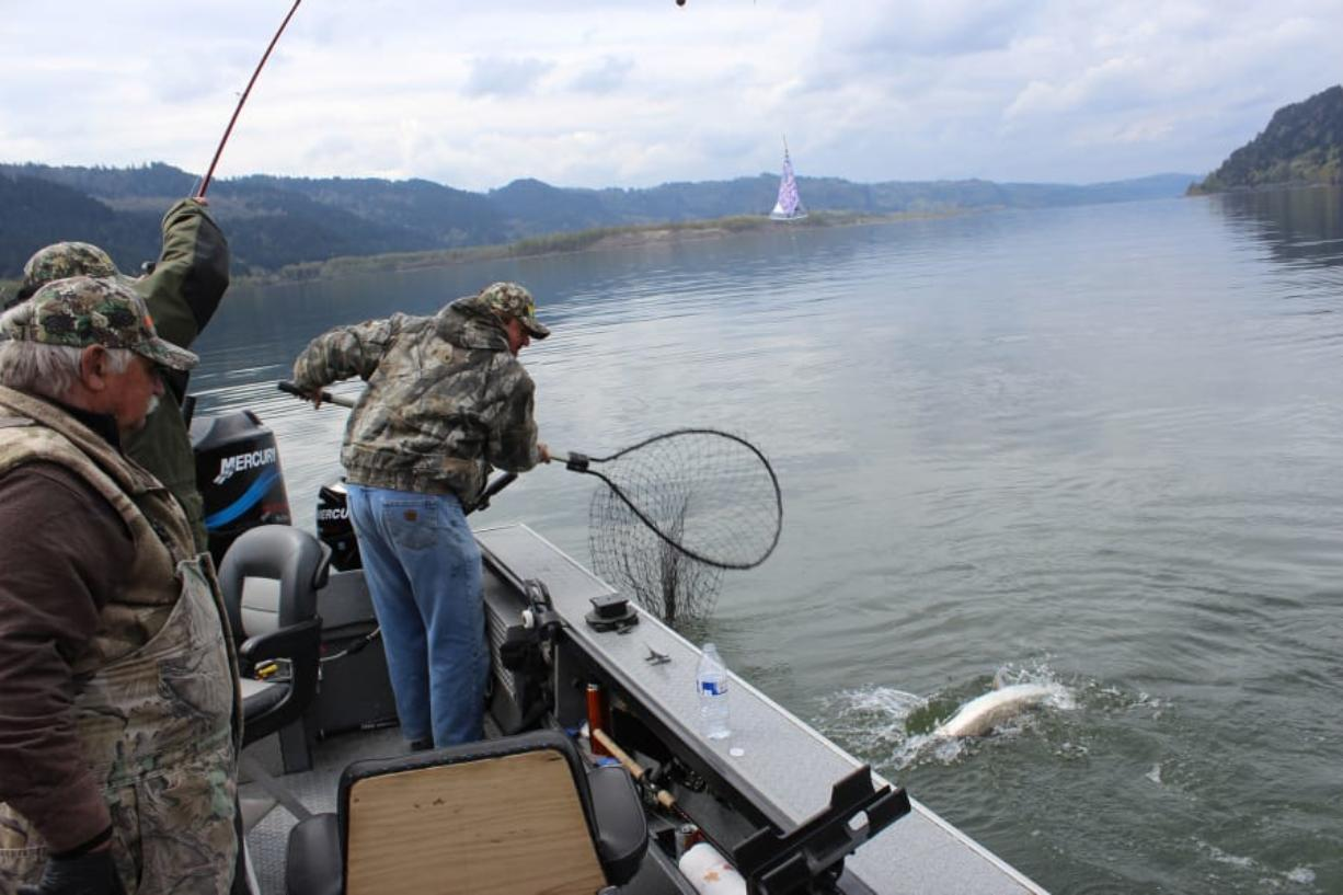 Buzz Ramsey of Yakima Bait attempts to net a spring Chinook on the Columbia River during a past season. For the second year in a row, spring Chinook seasons will be constrained by poor projected returns.