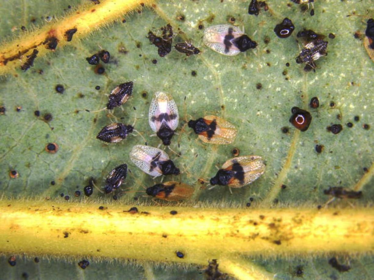 Adult and nymphs of the avocado lace bug (Pseudacysta perseae). The avocado lace bug was first discovered in Pearl City, Oahu, in December. (Hawaii Department of Agriculture)